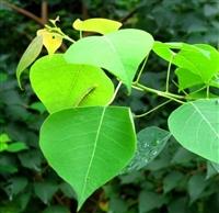 今年新采乌桕种子 绒花树 银杏树 樟树种子量大质优