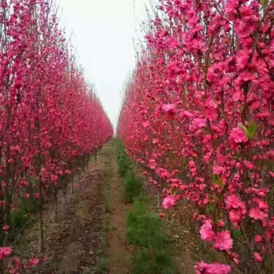 樱花价格高杆染井吉野阳光樱观赏碧桃大港区