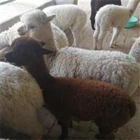 驯化好的羊驼  广佳 羊驼出售 羊驼里有卖