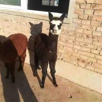 驯化好的羊驼  广佳 现货供应 宠物羊驼价格