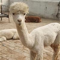羊驼吐口水  广佳 出租出售 驯化好的羊驼