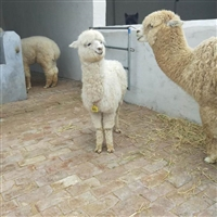 驯化好的羊驼  广佳 量大优惠 北方羊驼幼崽供应