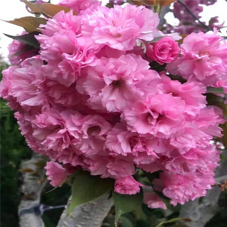 樱花价格高杆染井吉野阳光樱观赏碧桃红桥区