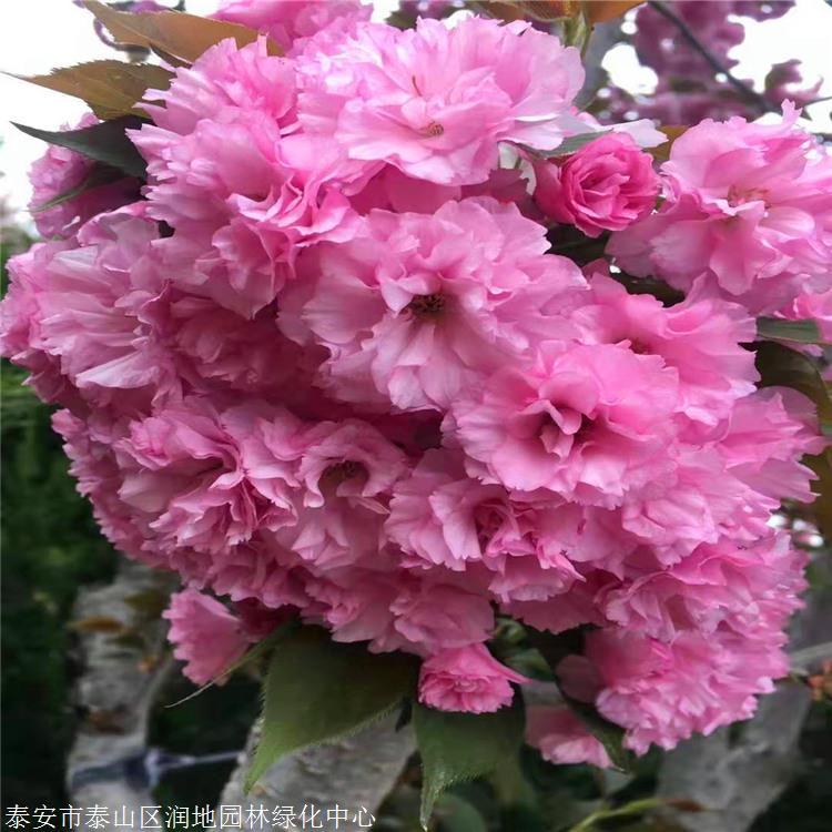 樱花价格高杆染井吉野阳光樱观赏碧桃东丽区
