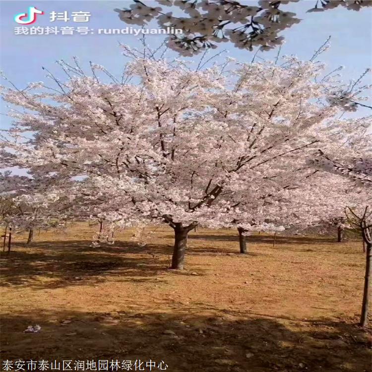 樱花价格高杆染井吉野阳光樱观赏碧桃塘沽区