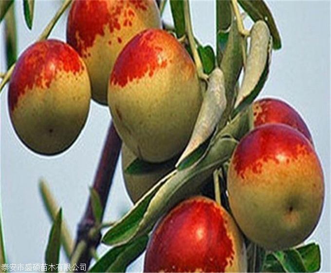枣树苗价格 冬枣树苗 冬枣树苗价格
