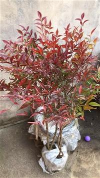 常年快递南天竺 红天竺 兰天竹 苗子 种子