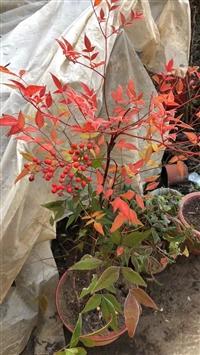 大量盆景素材火棘 水腊 海棠 梅花种子及其小苗 保鲜快递全国