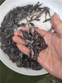 三黄塘虱鱼苗养殖指导
