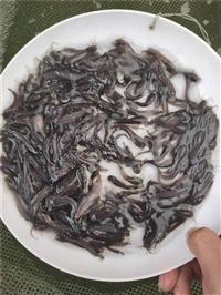 三黄塘虱鱼苗批发价格