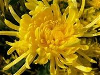亳州金丝皇菊苗一亩地种植多少棵