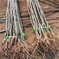 泰山油板栗栽植技术 板栗树苗哪里卖
