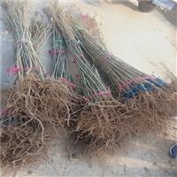 附近哪里出售1米高板栗苗 拐子板栗苗栽植技术