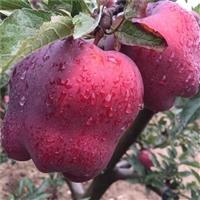 红富士苹果苗木8号 红富士苹果苗木新品种 快递包邮