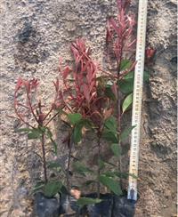 30到40高度红叶石楠小杯苗产地在浙江金华红叶石楠苗基地