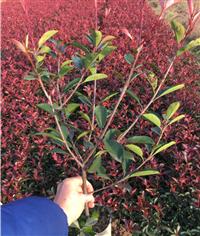浙江金华30cm冠60高度的红叶石楠大杯苗基地 在绿程苗木杯苗种植