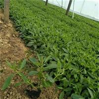 柳叶马鞭草 马鞭草供应商 可做观赏植物