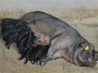 現在長沙蘇太小母豬價格