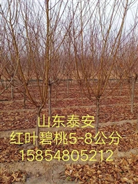 泰安樱花价格新品种40