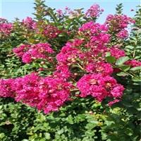 新春园林 紫薇玫瑰红 别名百日红 庭园观赏树种 现货供应