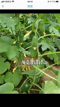 金娃水果黃瓜種子,廠家直銷,產量高,抗病強
