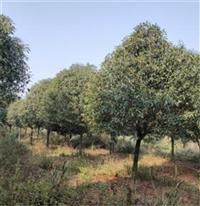 浙江臺州桂花樹苗提供種植技術指導 成活率高