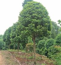 浙江衢州桂花樹苗,大量供應米徑6-15公分桂花樹價格