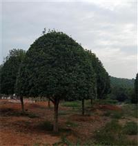 浙江衢州桂花樹苗價格精品種植基地