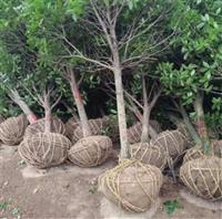 浙江衢州桂花樹苗銷售,八月桂花樹批發價格