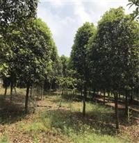 浙江麗水市桂花苗銷售,八月桂花樹批發價格