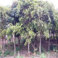红皮榕移植苗 西藏红皮榕苗圃 农户批发 价格优惠