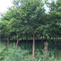 红皮榕移植苗 贵州红皮榕厂家 风景树绿化植物