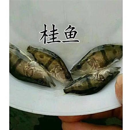 广东鱼苗批发与零售各种优质鱼苗