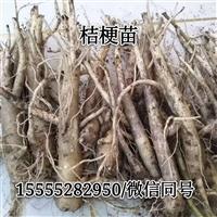 桔梗芽子桔梗秧苗种植新技术