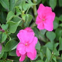 非洲凤仙价格 铭轩花卉 品质上乘凤仙花 城市绿化景观用花