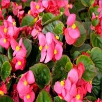 四季海棠苗 中弘花卉 秋海棠 花苗种植基地