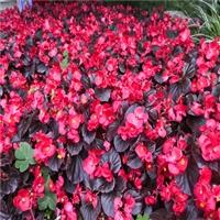 四季秋海棠 中弘花卉 重瓣四季海棠花 喜温暖而凉爽