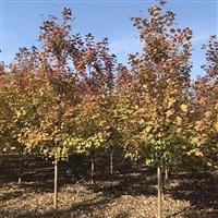 工程绿化苗木 红枫树规格齐全 收购红冠红枫 红冠红枫的价值