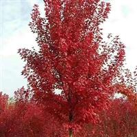 现货直销红枫 红枫培育基地 红枫的价格 红枫树的管理