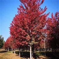 速生红枫大量现货 红冠红枫施肥 红冠红枫种植 各种红冠红枫