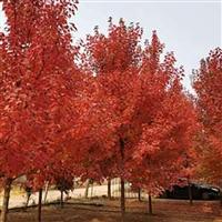 厂家直销红枫 现货供应红枫 绿化红冠红枫 低价销售红枫