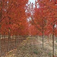 红枫树成活率高 红冠红枫施肥 大量红冠红枫 低价销售红枫