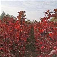 红枫树价格 红枫培育基地 速生红冠红枫 红冠红枫科技