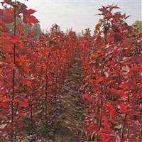 速生红枫大量现货 红冠红枫报价 山东红枫苗木 红冠红枫落叶