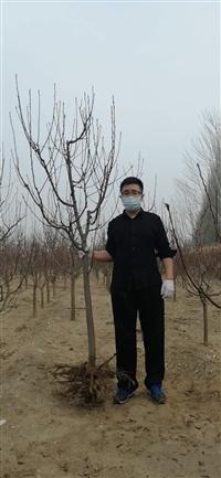 8公分八棱海棠树价格多少钱 张家口东茂日盛八棱海棠基地