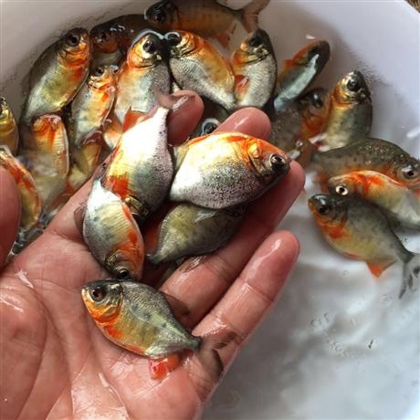 红鲳鱼鱼苗批发