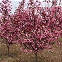 垂丝海棠树苗 垂丝海棠批发价格 垂丝海棠园林绿化苗