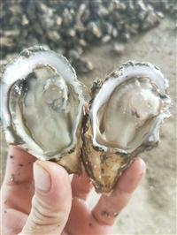 湖南长沙生蚝一手货源批发市场