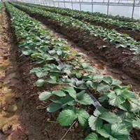 草莓膜下滴灌安装技术指导 厂家直销