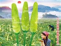 朝天椒種子,小米辣,廠家直銷,產量高